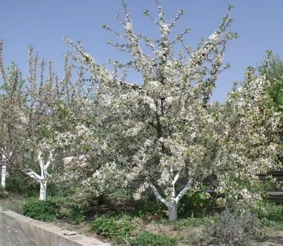 Цветущая вишня Тургеневка