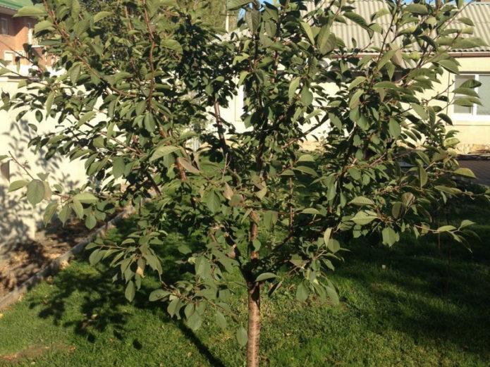 Молодое дерево вишни Новелла