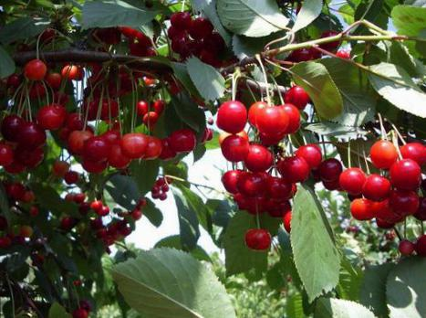 Плоды вишни Новелла на ветке