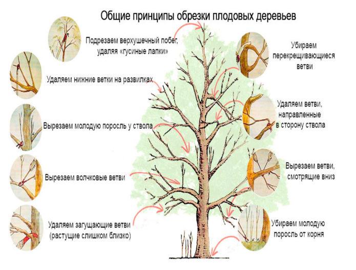 Общие принципы обрезки дерева