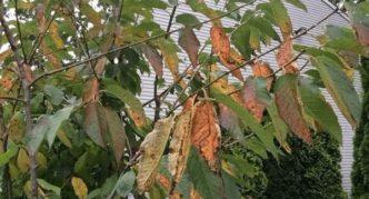 Коккомикоз плодового дерева