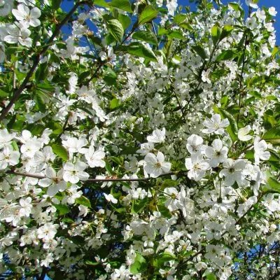Цветение вишни Молодёжная