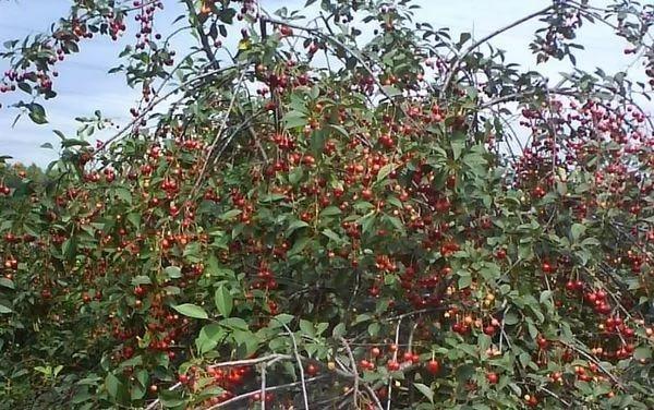 Плодоносные побеги вишни Молодёжная
