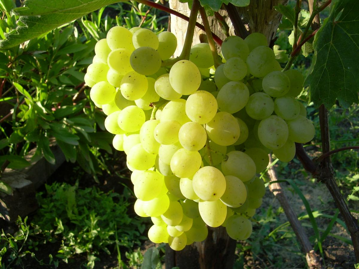 Виноград Тукай: описание сорта, фото, отзывы