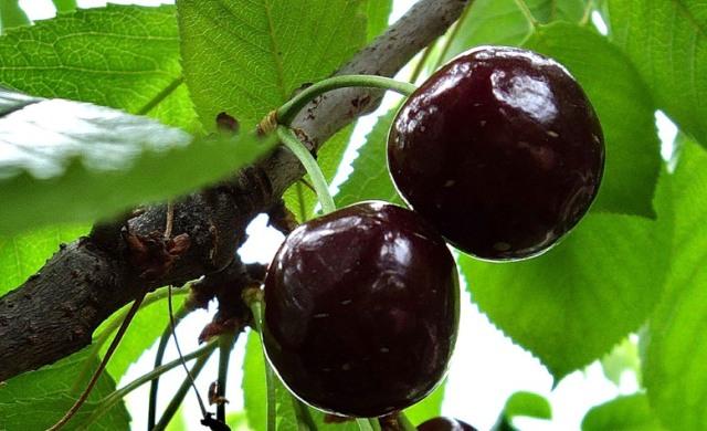 Плоды вишни Чернокорка