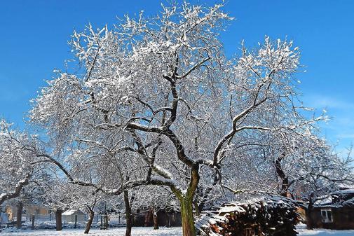 Дерево вишни Подбельская