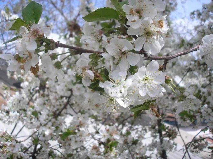 Цветки вишни сорта Шпанка