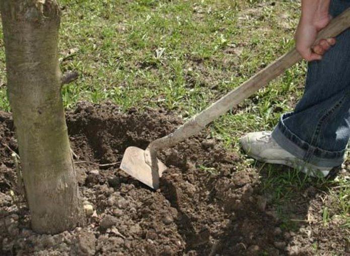 Рыхление почвы под деревом
