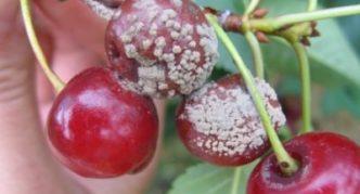 Серая гниль на плодах вишни
