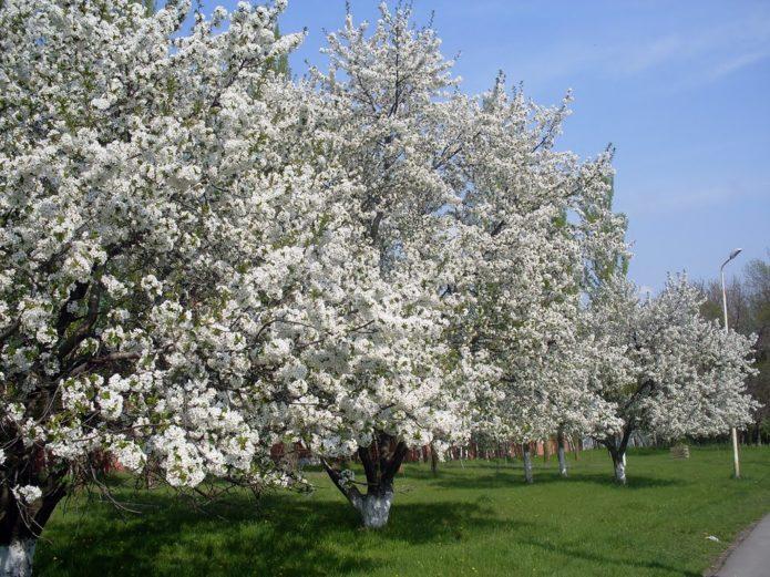 Цветущий вишнёвый сад