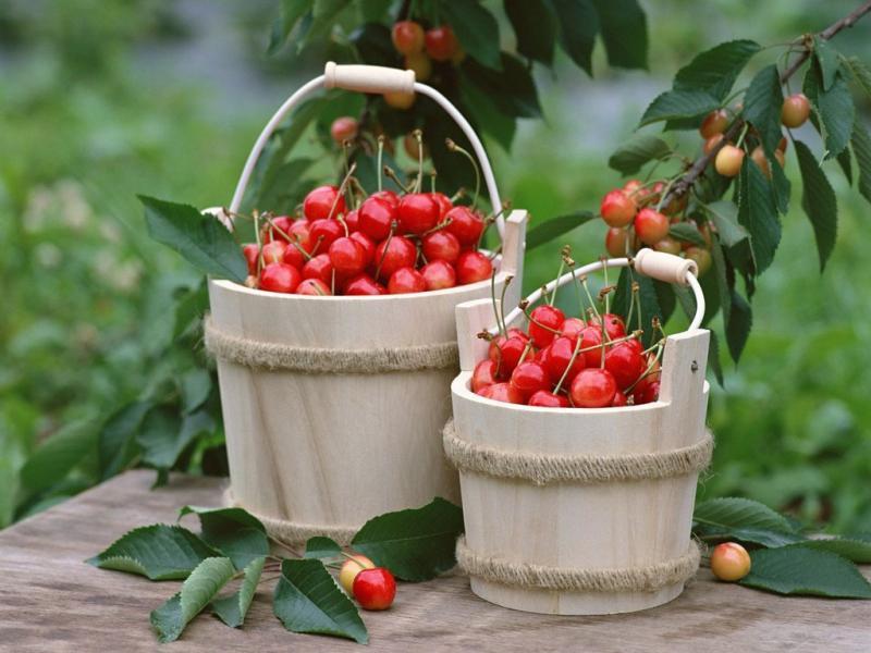 Лучшие сорта опылители черешни