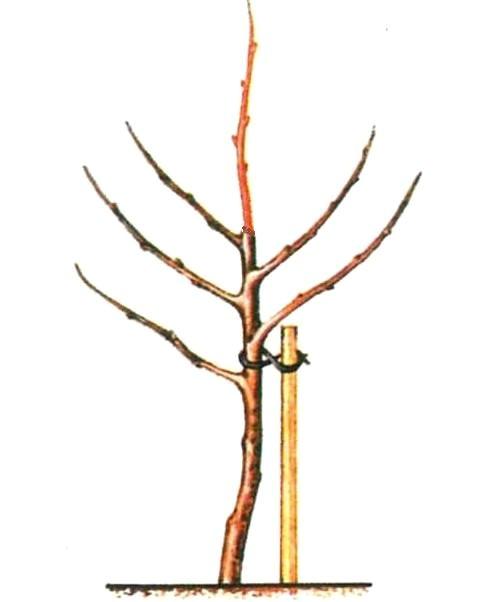 Подвязка саженца верёвкой к колышку