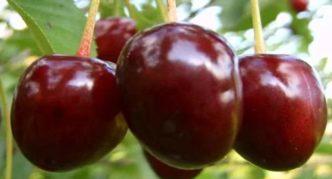 Загорьевская вишня