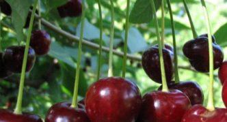 Молодежная вишня