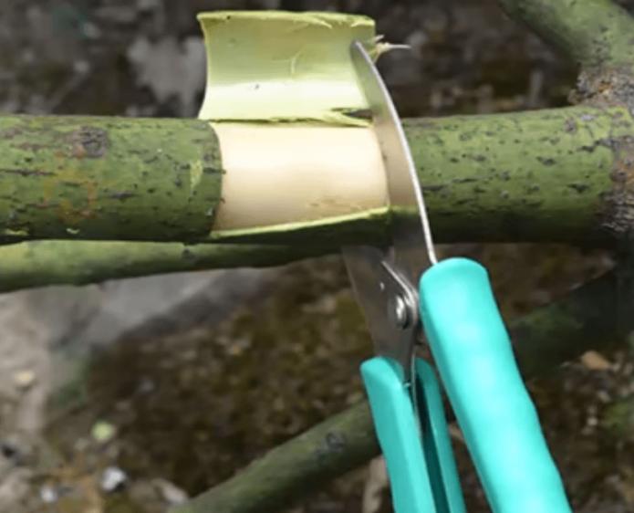 Кольцевание ветви для закладывания цветочных почек