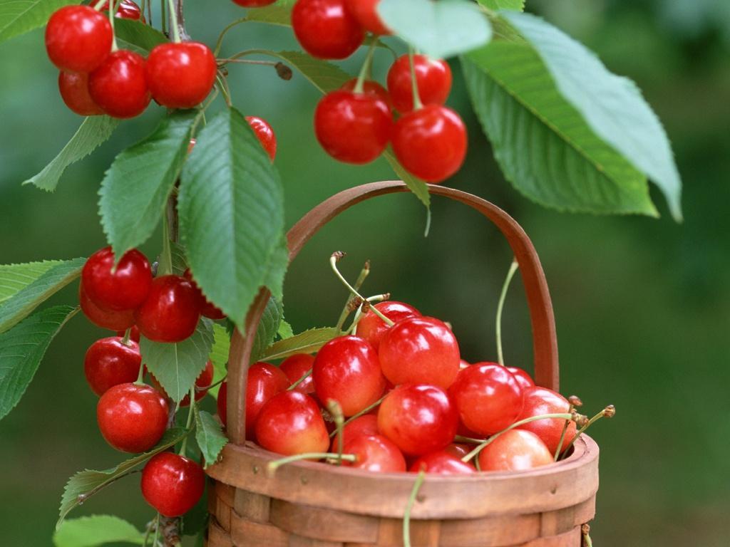 Популярные сорта черешни, подходящие для выращивания в средней полосе России