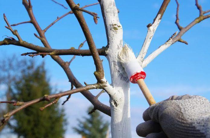 Побелка ствола вишни