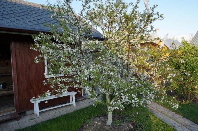 Низкорослые сорта вишни
