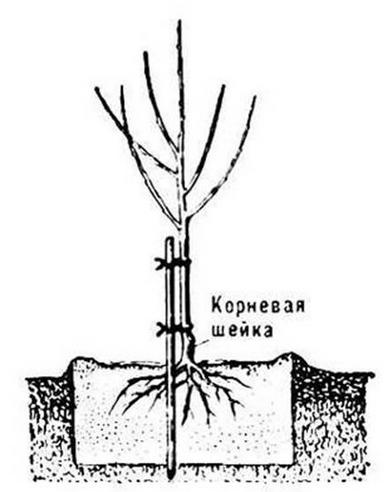 Расположение корневой шейки