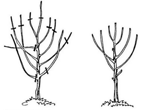 Схема обрезки вишни после посадки