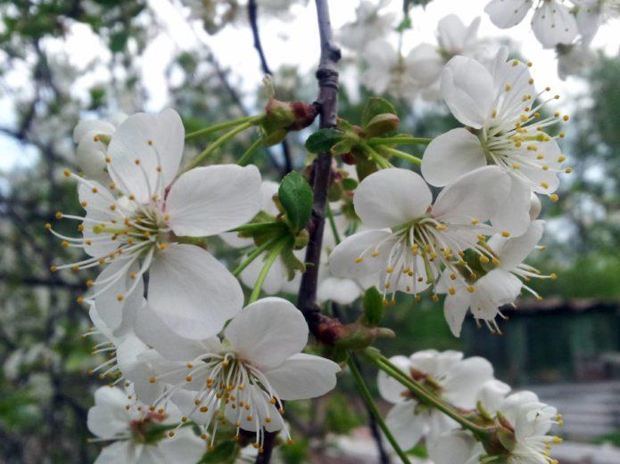 Нежные цветы вишни
