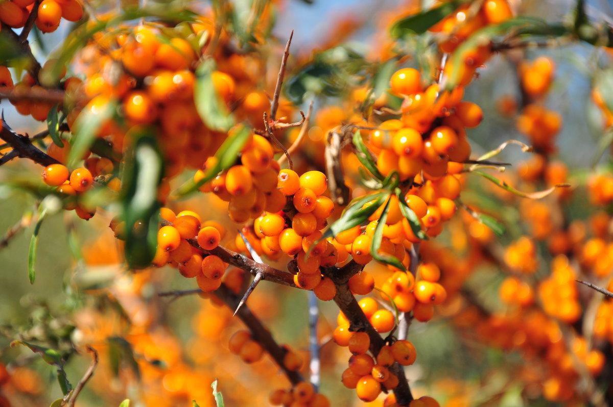 Облепиха Алтайская: популярный сорт с очень вкусными ягодами