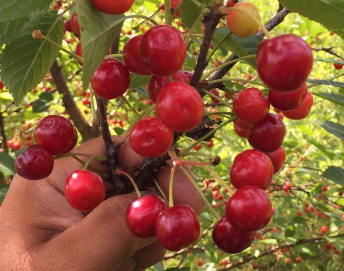 Белорусский сорт вишни Вянок