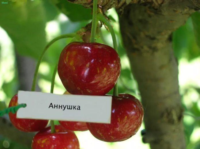 Сорт Аннушка