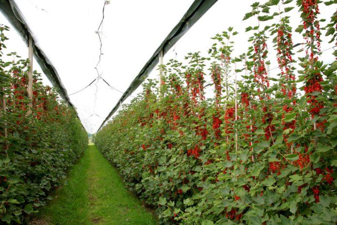 Выращивание смородины по новой технологии