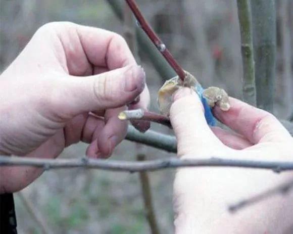 Обработка обрезов ветвей