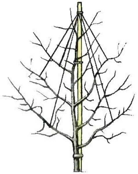 Подвязка штамбовой смородины