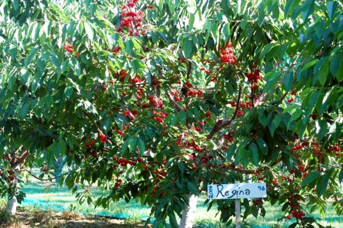 Дерево черешни Регина с ягодами