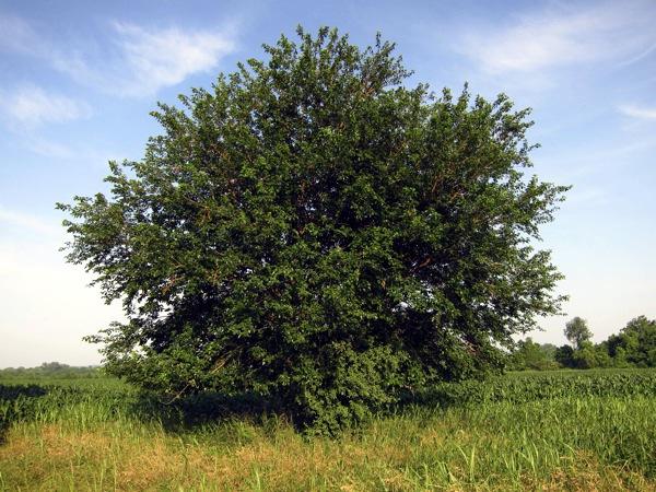 Шелковица в природе