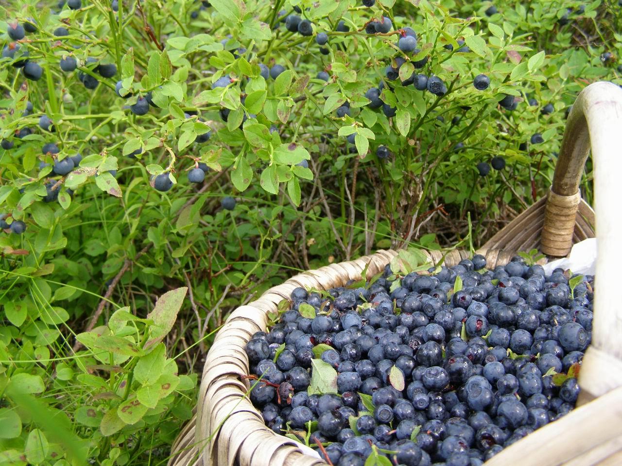 Черника садовая: выбор сорта и рекомендации по выращиванию