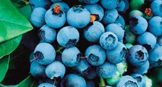 Садовая черника Bluecrop