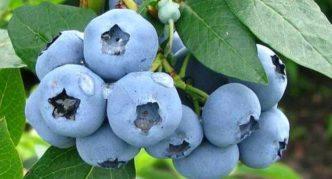 Садовая черника Bluegold
