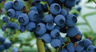 Садовая черника Blueray