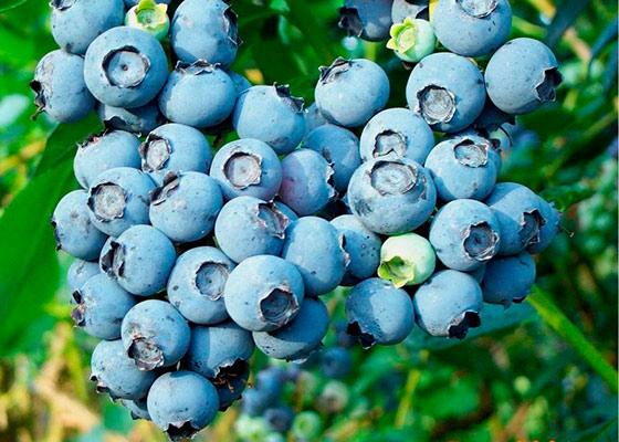Плоды черники садовой
