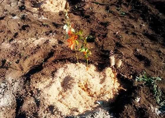 Высаженная в грунт черника садовая