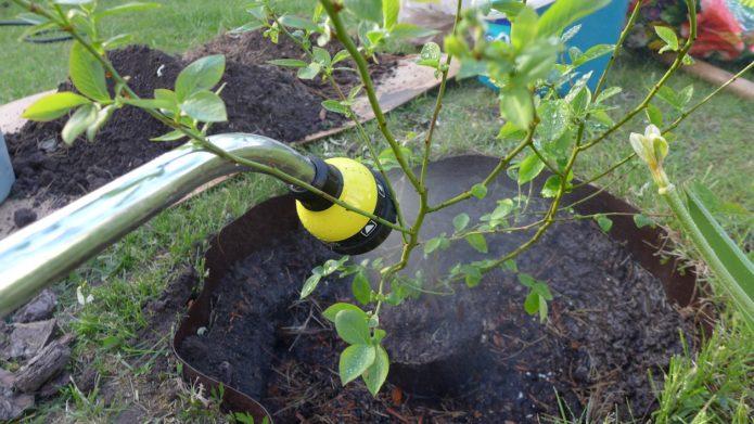 Полив черники садовой