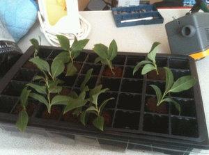 Черенкование садовой черники
