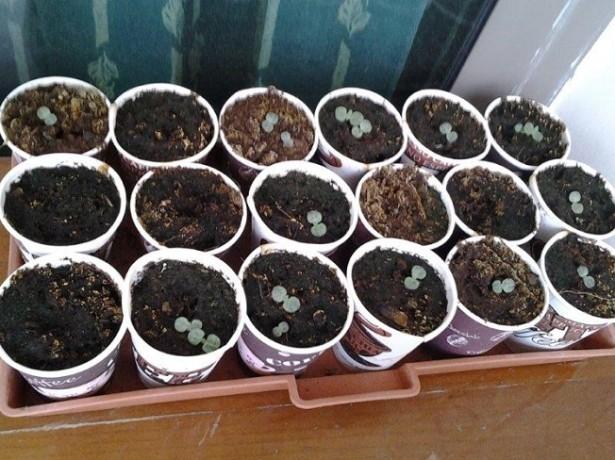 Сеянцы черники садовой