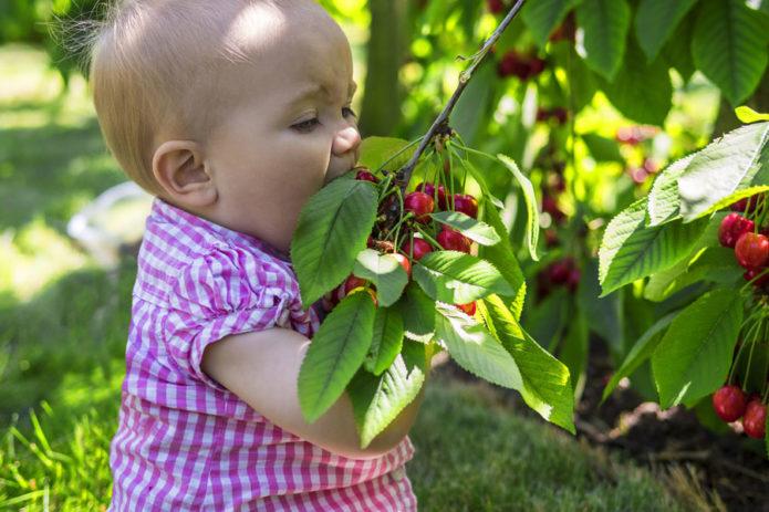 Девочка ест черешню прямо с дерева