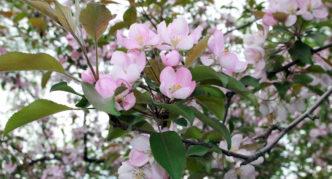 Яблоня с розовыми цветами