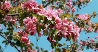 Яблоня с малиновыми цветами