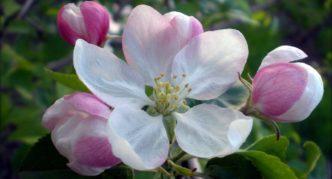 Яблоня с бело-розовыми цветами