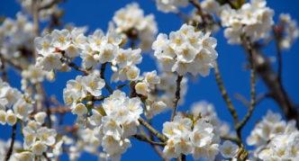 Яблоня с белыми цветами