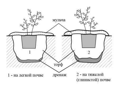 Схема посадки садовой брусники