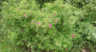 Куст шиповника майского