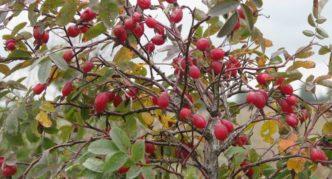 Плоды шиповника майского